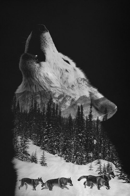 Wolfpack - Canvas Print