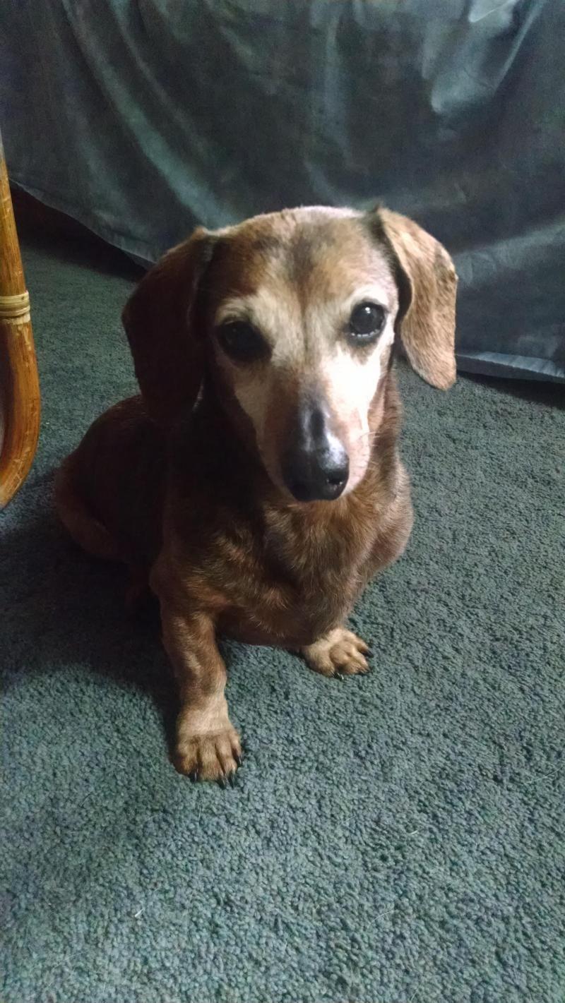 Adopt Coco on Adoptable dachshund dog, Dachshund lovers