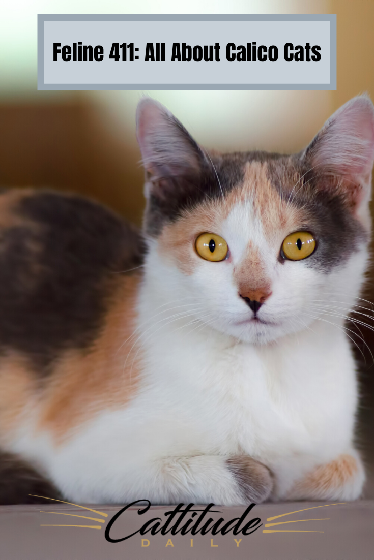 Feline 411 All About Calico Cats In 2020 Cat Breeds Calico Cat