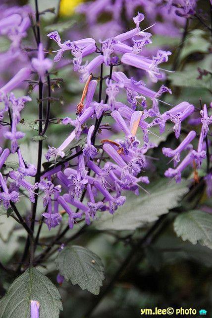 Purple Honeysuckle By Peterymlee Via Flickr Flower Therapy Honeysuckle My Flower