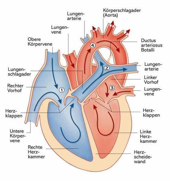 Das Herz: Aufbau, Funktion und Erkrankungen | Körper | Pinterest ...