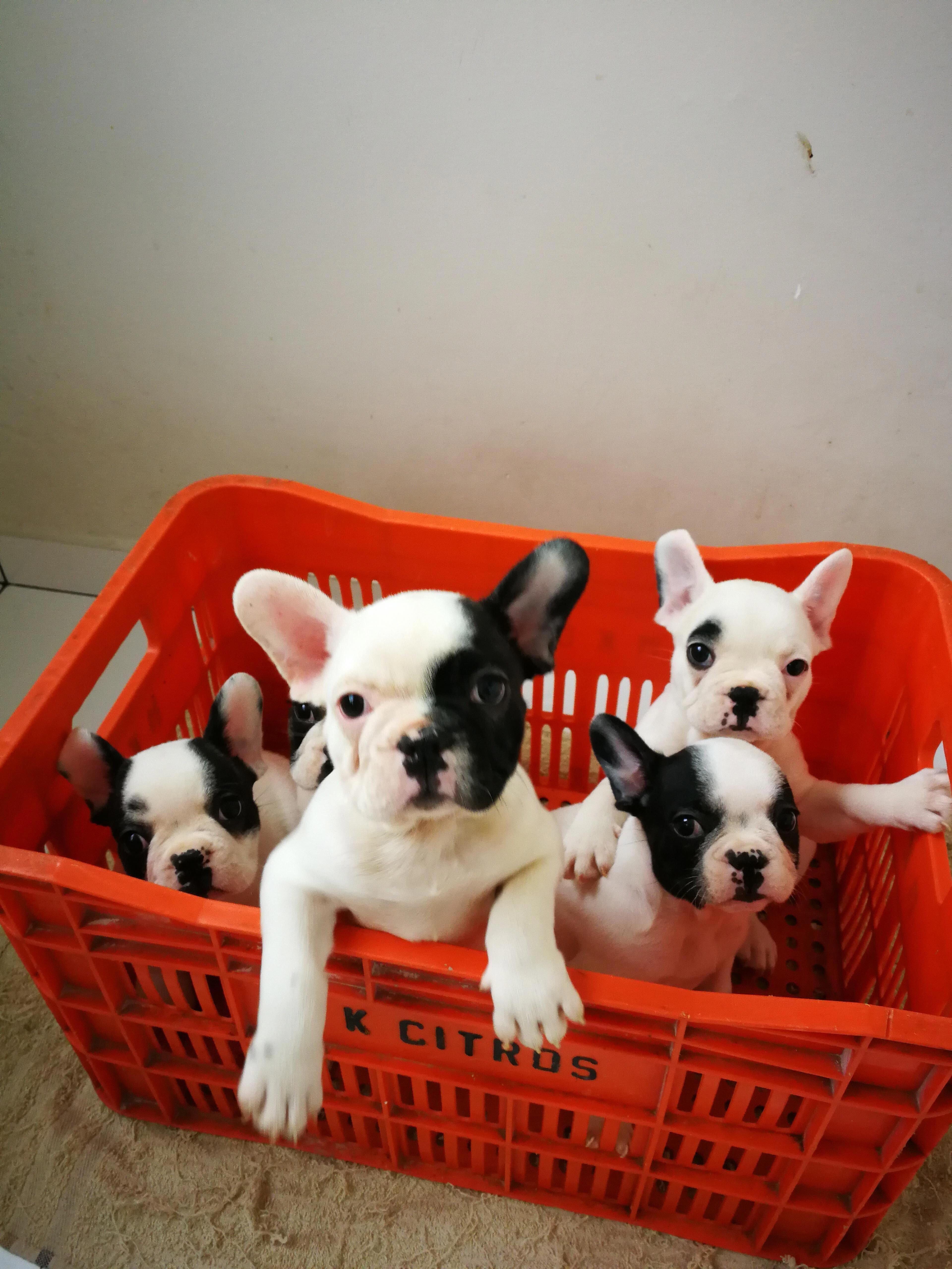 Bulldogpups Frenchies Bulldog Puppies French Bulldog Puppies