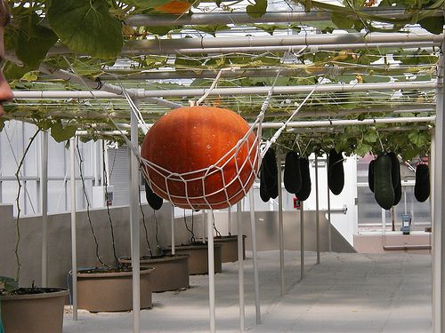 Aeroponic Pumpkin Hydroponic Farming Hydroponic 400 x 300