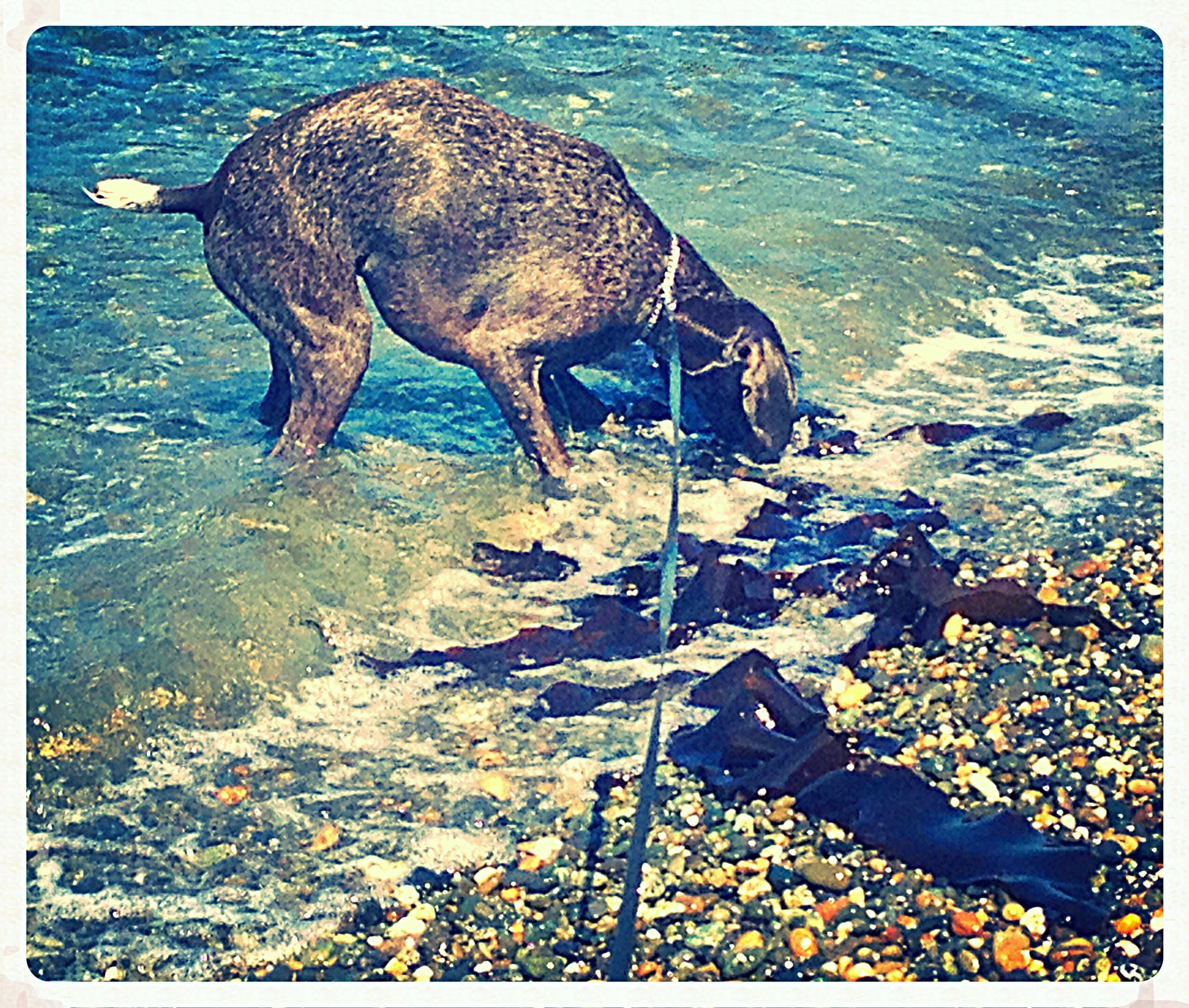 Playing with seaweed! (With images) Bird dogs, Dogs