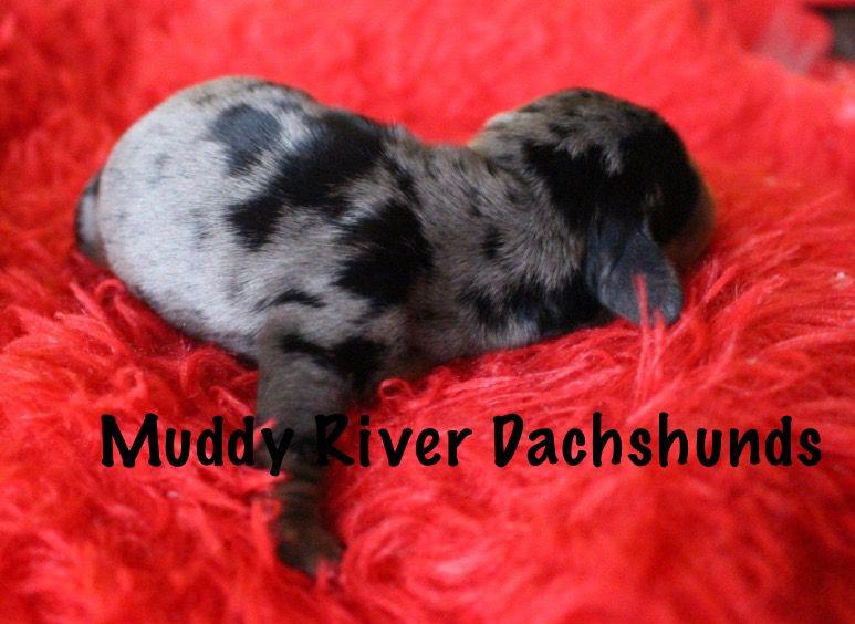 Miniature Dachshund Puppies Dachshund Puppies Dachshund