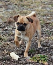 Adopt Bruno On Pug Pictures Pugs Dogs