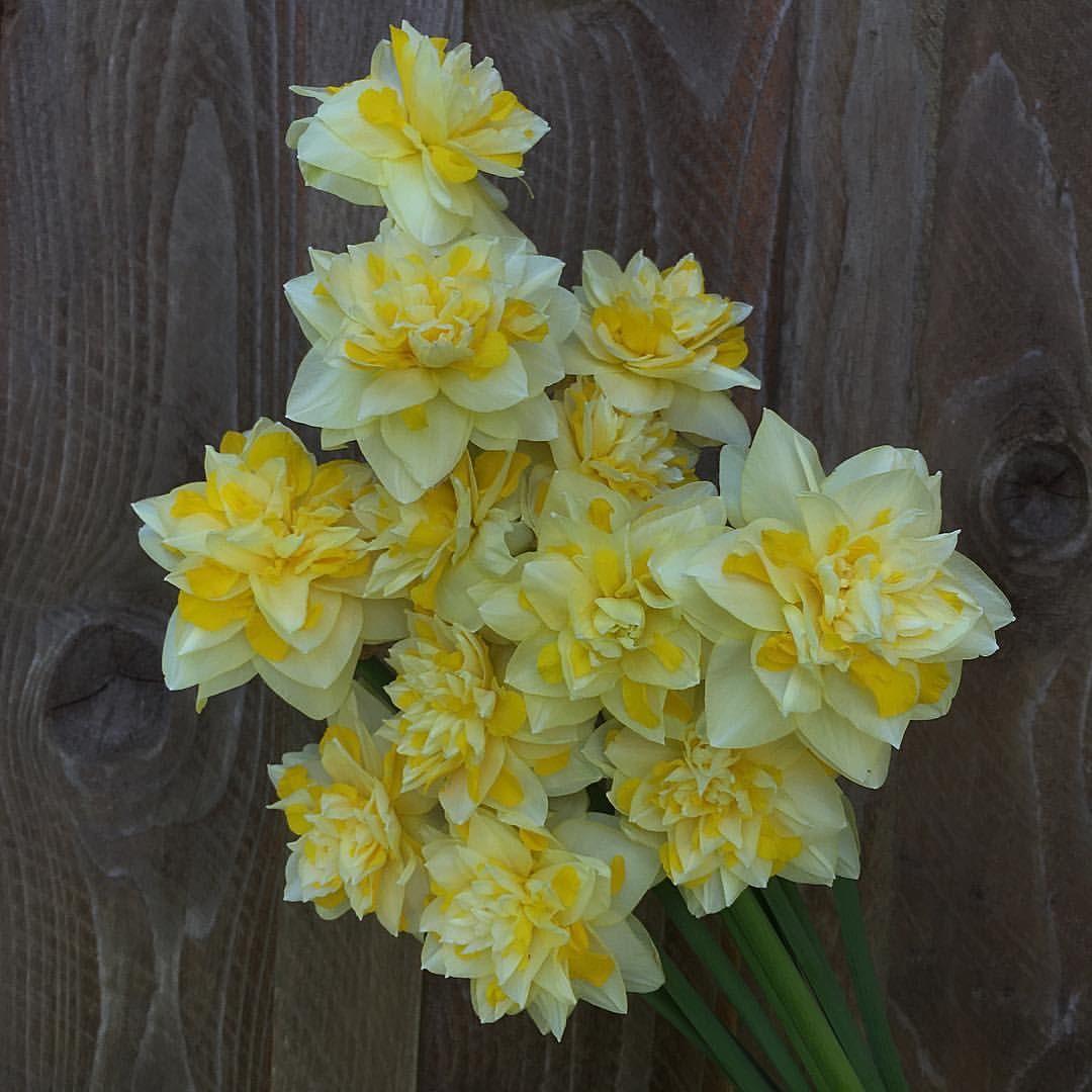 Sweet Pomponette Narcissus Smells Like Flowerfarmer Flower Farmer Narcissus Flowers