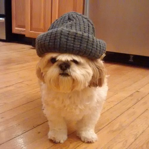 A Shih Tzu with a hat looks like a grumpy old person.