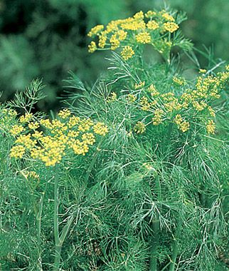 Fernleaf Dill Seeds And Plants, Growing Herb Gardens At Burpee.com