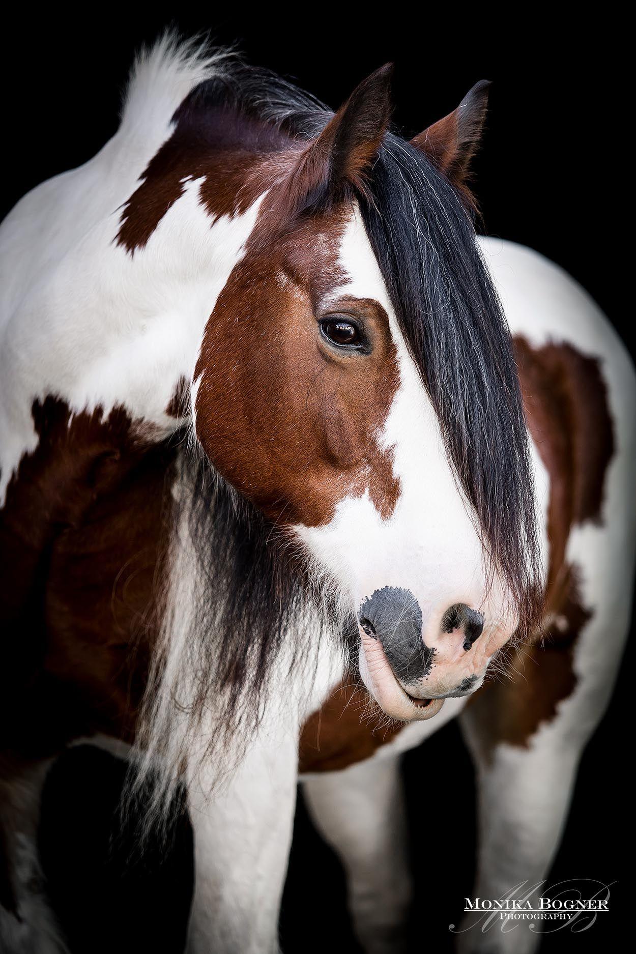 Tinker Irish Cob – Klassische Pferdeportraits vor schwarzen Hintergrund – Monika Bogner Photography
