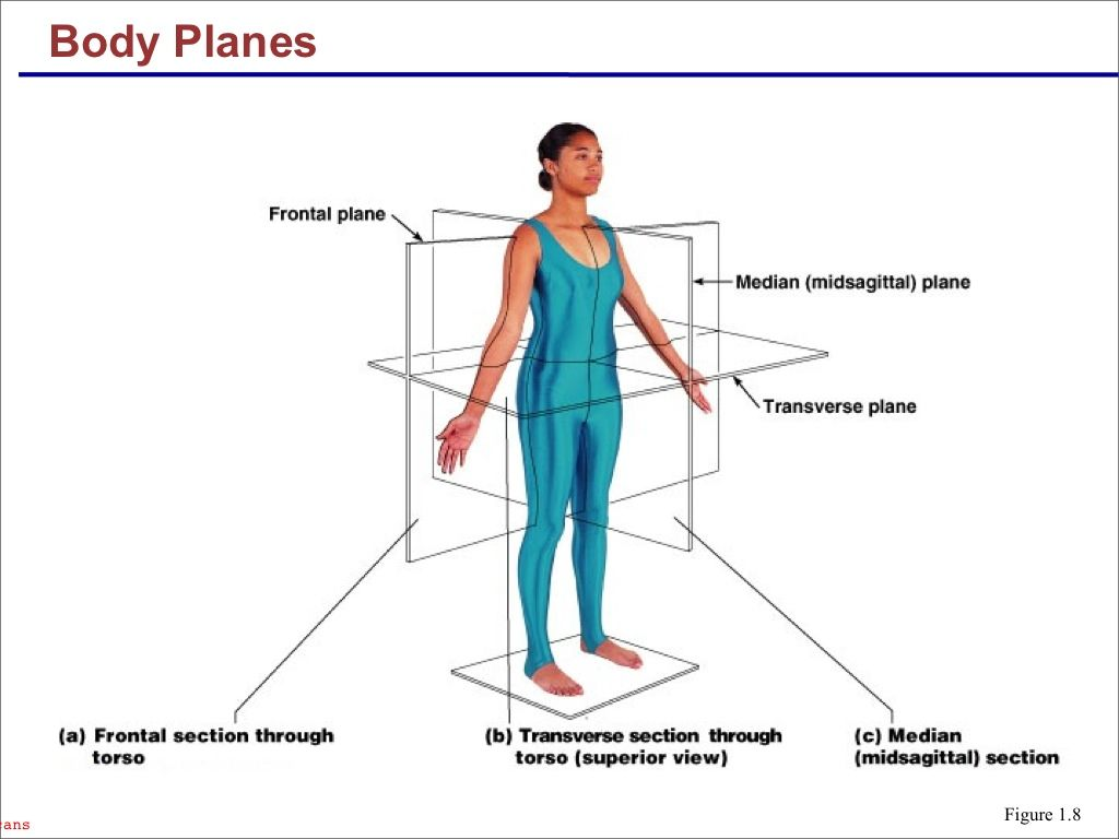 Planes of the human body | Anatomy and Physiology | Pinterest ...
