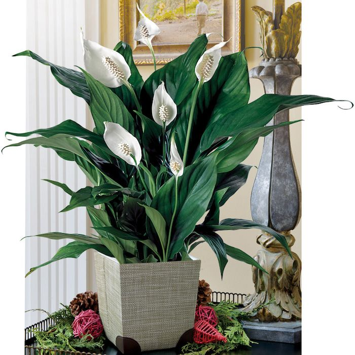 Pflanzen Für Dunkle Räume pflanzen die wenig licht brauchen friedenslilie im blumentopf in