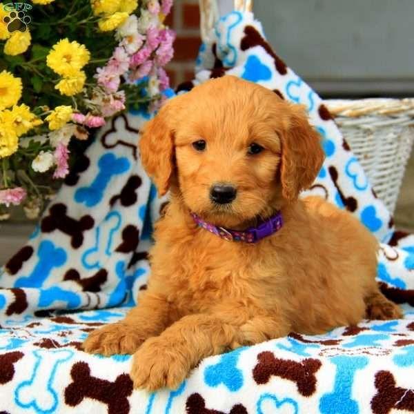 Gloria Goldendoodle Puppy For Sale In Pennsylvania
