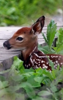 Pin by on BABY FAWNS Animals