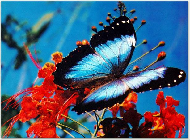 Butterflies Pictures Google Search With Images Blue Morpho Butterfly Morpho Butterfly Butterfly Images