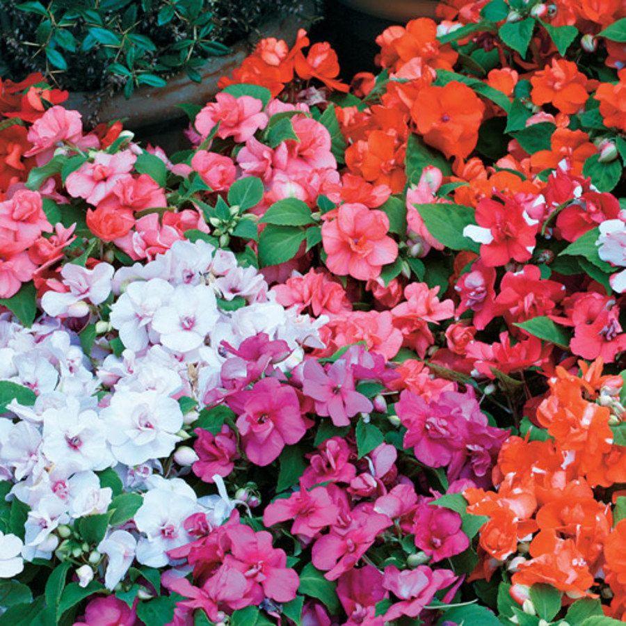 100 Impatiens Seeds Double Royal Flush Mix Flower Seeds Impatiens Flowers Double Impatiens