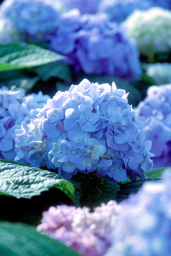 The Original Was The First Hydrangea Variety Of Endless Summer And Revolutionized The Way Gardeners Are Endless Summer Hydrangea Hydrangea Varieties Hydrangea
