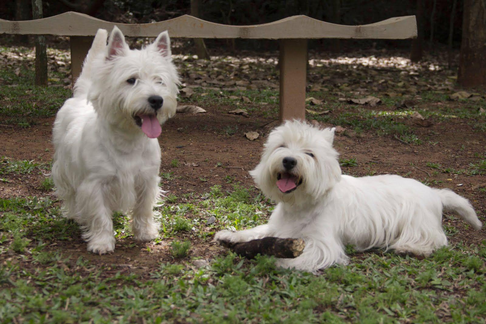 Westies Love It Westies Cute Dogs West Highland Terrier
