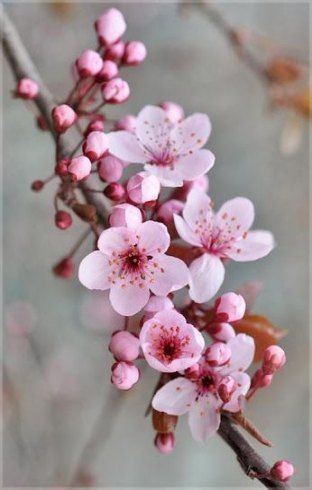 Photo of Cherry blossom tree wallpaper spring 55 ideas for 2019
