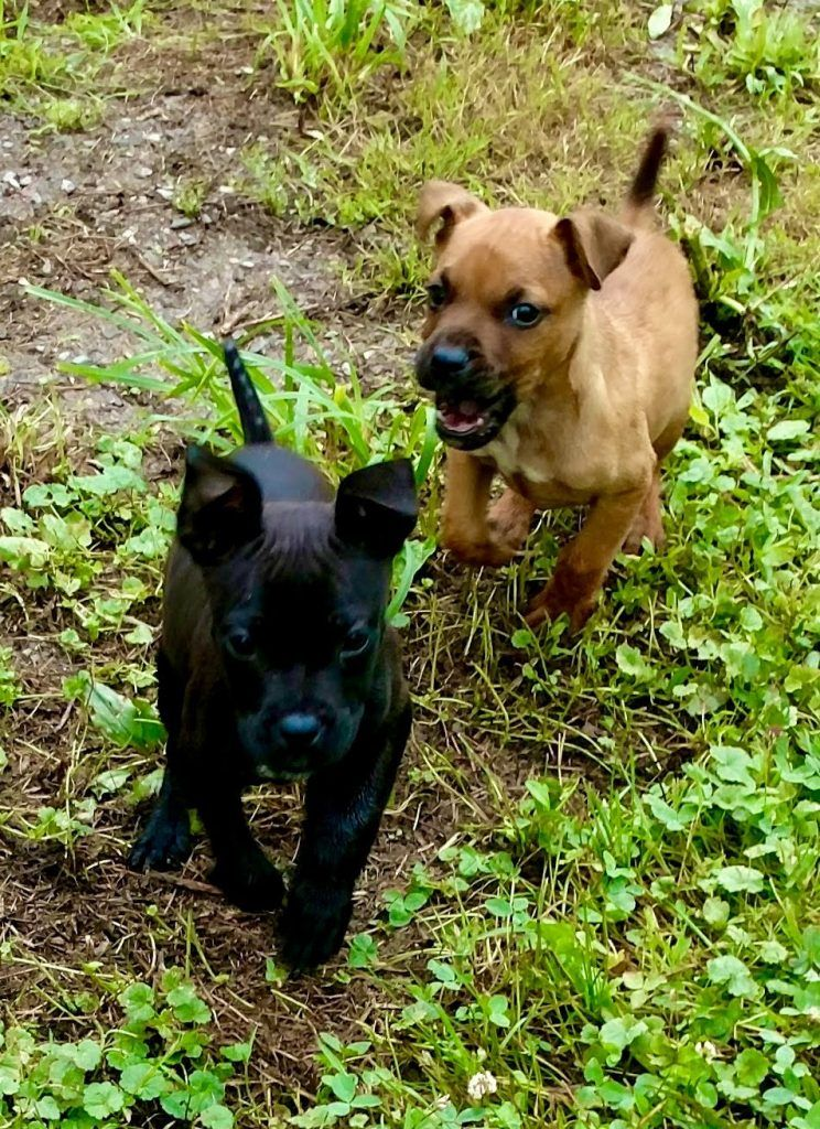 Mcdonnells Cheeba Warrior Monk Hunt Kennels Patterdale Terrier