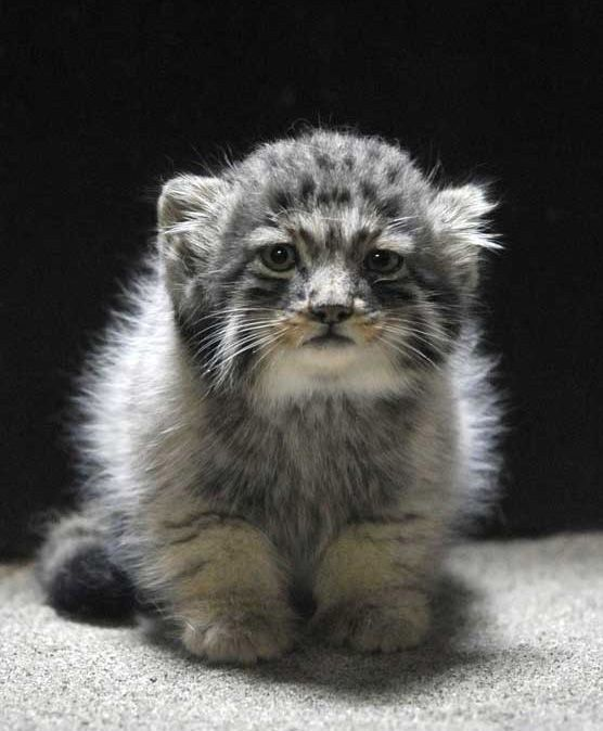 Adorable kitty with Round Pupils. They are called Manul Cats, and are adapted to Siberian climates.