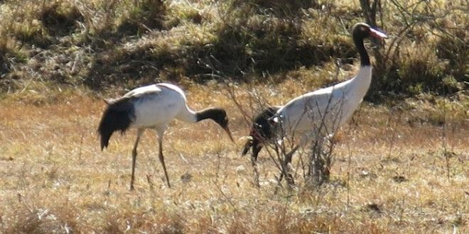 Great! Amazing! Bird Lovers' Centre of Action - Black-Necked Cranes in Bhutan Do you believe now 422 black-necked Cranes have arrived in Bhutan now? Wow the winter grounds of Bhutan now became more attractive with these beautiful guests.