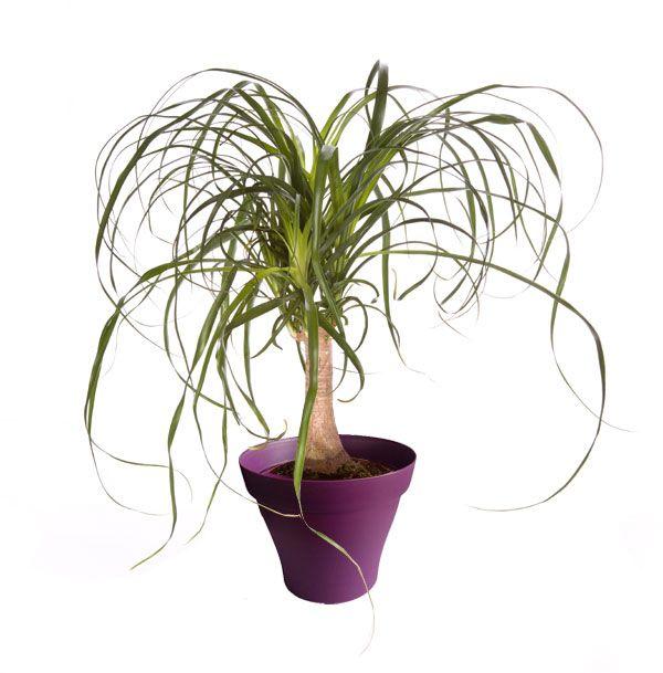 Petit beaucarnéa avec cache pot violet   Plantes d\'intérieur avec ...