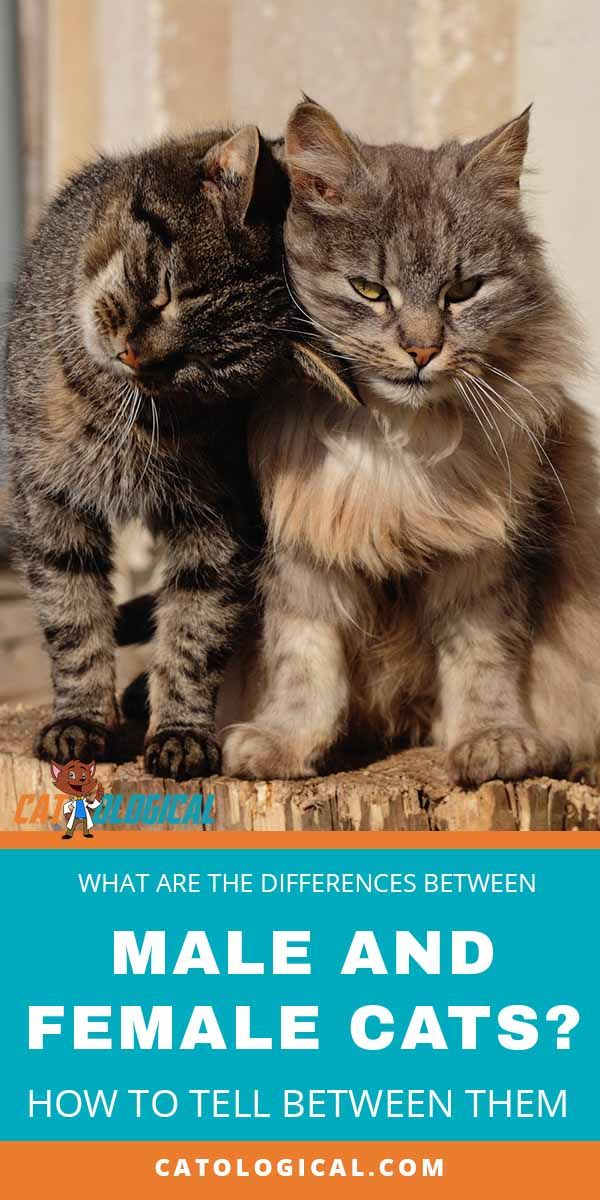 The Differences Between Male And Female Cats How To Tell
