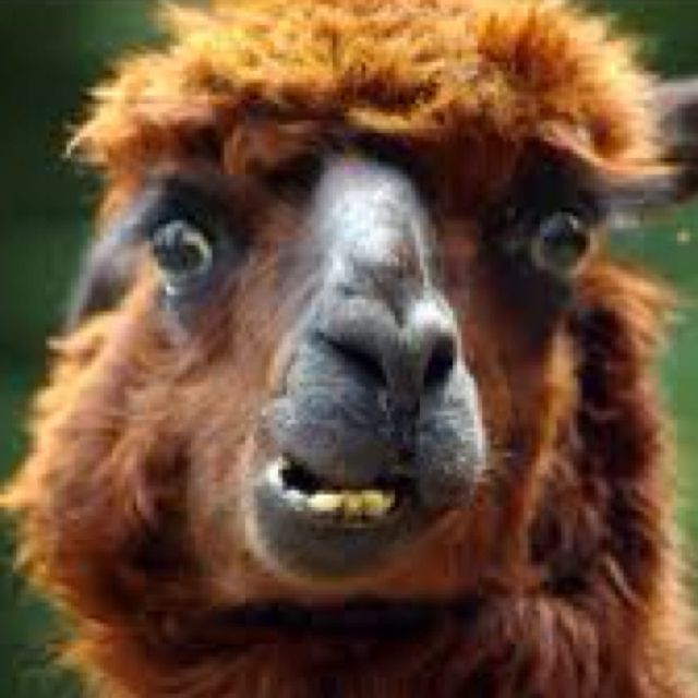 Picture Of A Llama Crying: Crazy Llama!