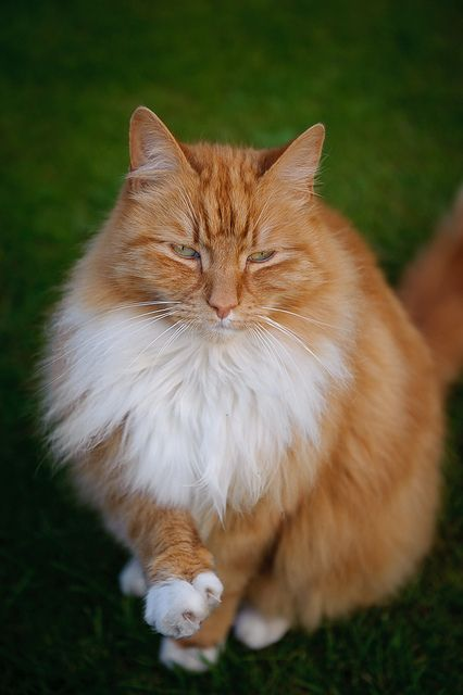 Willie    cat