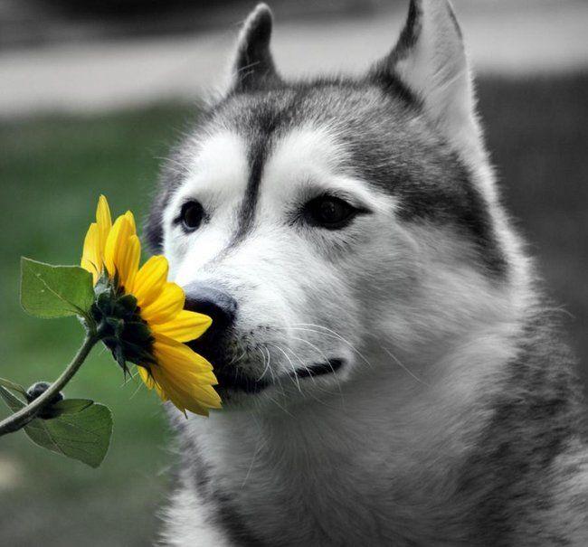 lobo com flor - Pesquisa Google