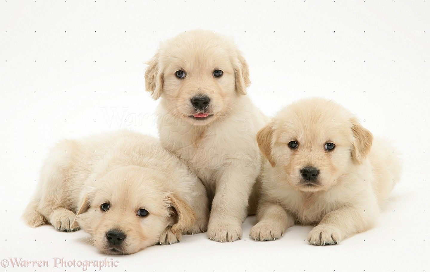 White Golden Retriever Puppies Golden Retriever Puppies White