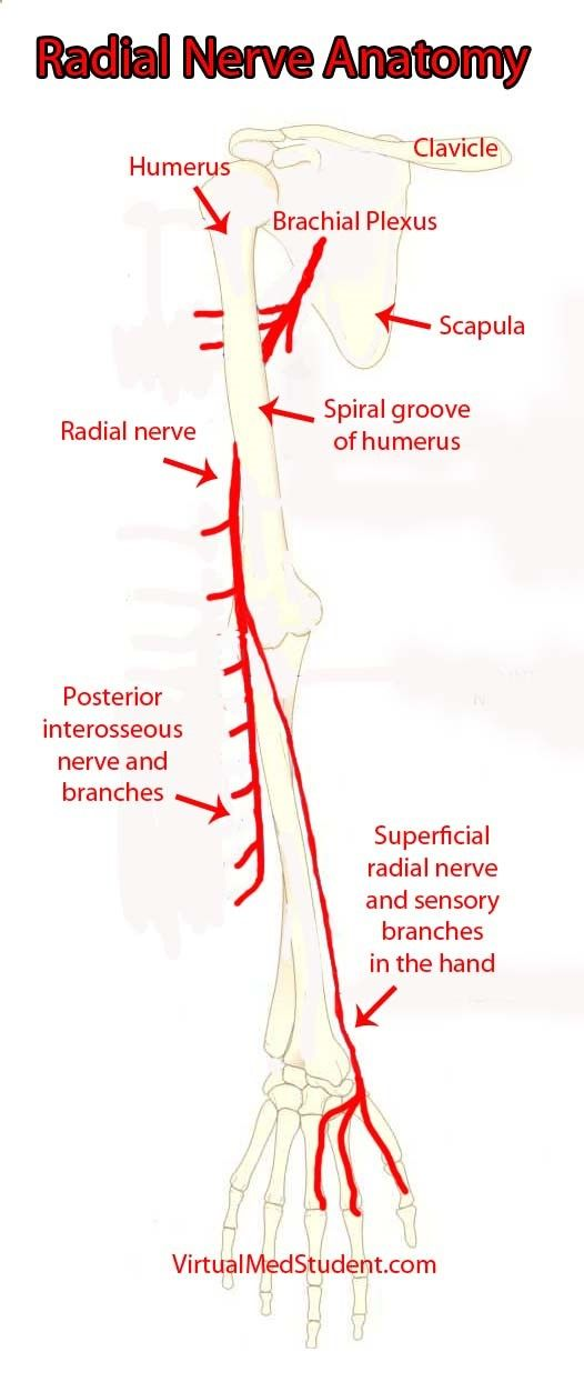 The radial nerve and its branches | Biological | Pinterest | Anatomy ...