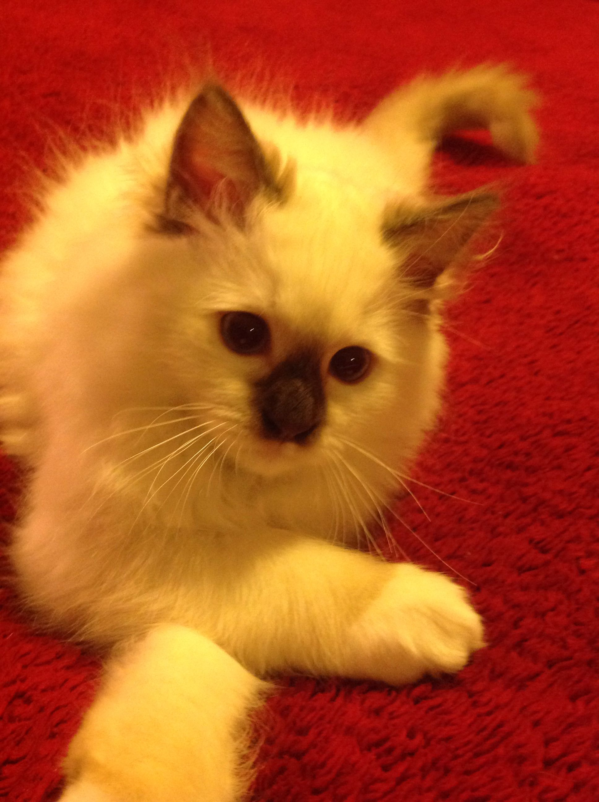 Rowan Wyatt 3 Month Old Ragdoll Of Kiki Ragdolls Of Ohio Kitty Ragdoll Animals