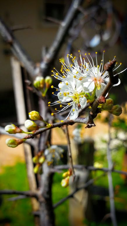 How To Plant Grow And Care For Almond Trees Blooming Trees Trees To Plant Landscape Trees