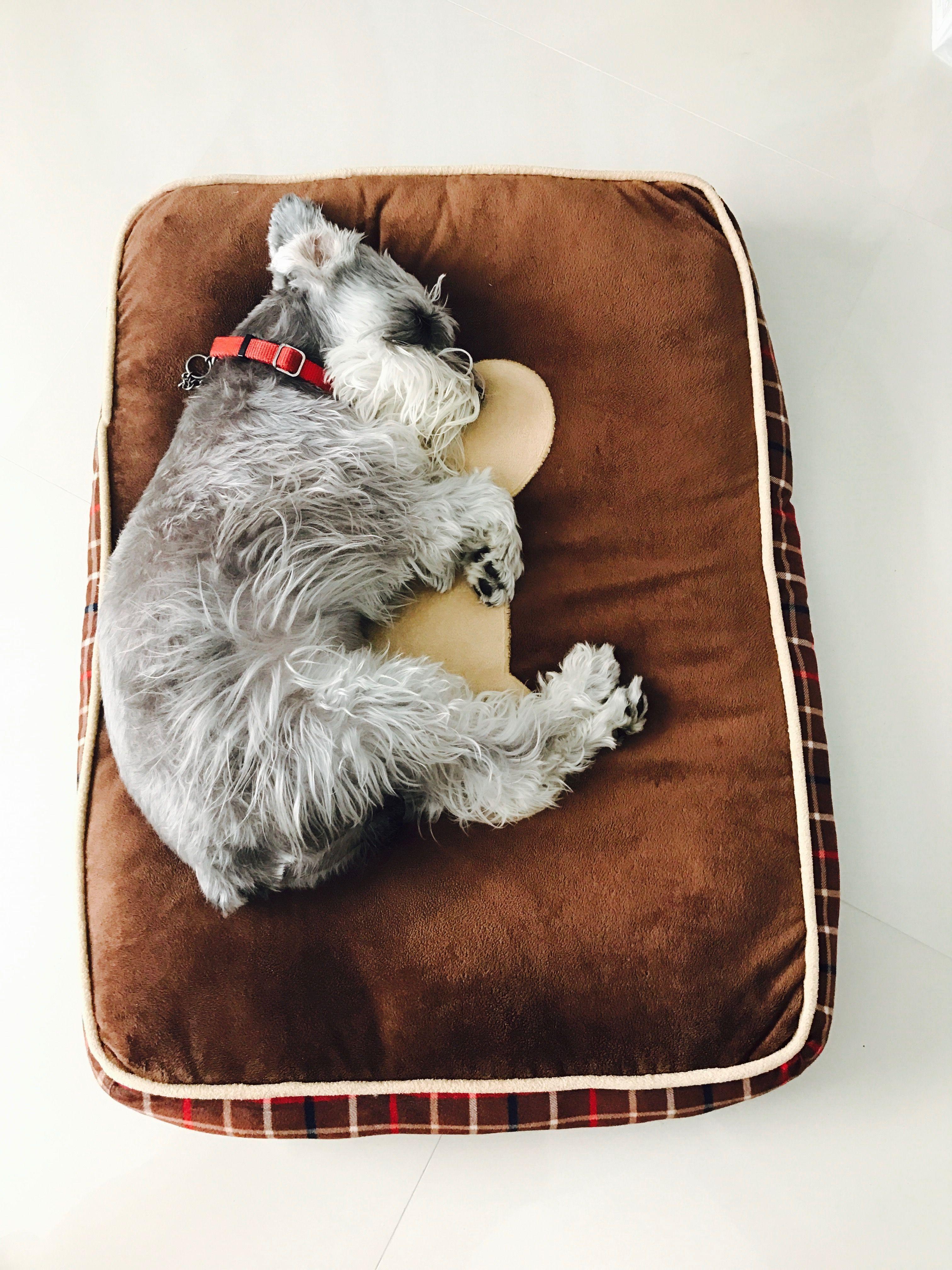 Tomando un descanso para dormir #Schnauzer #tierno #lindo