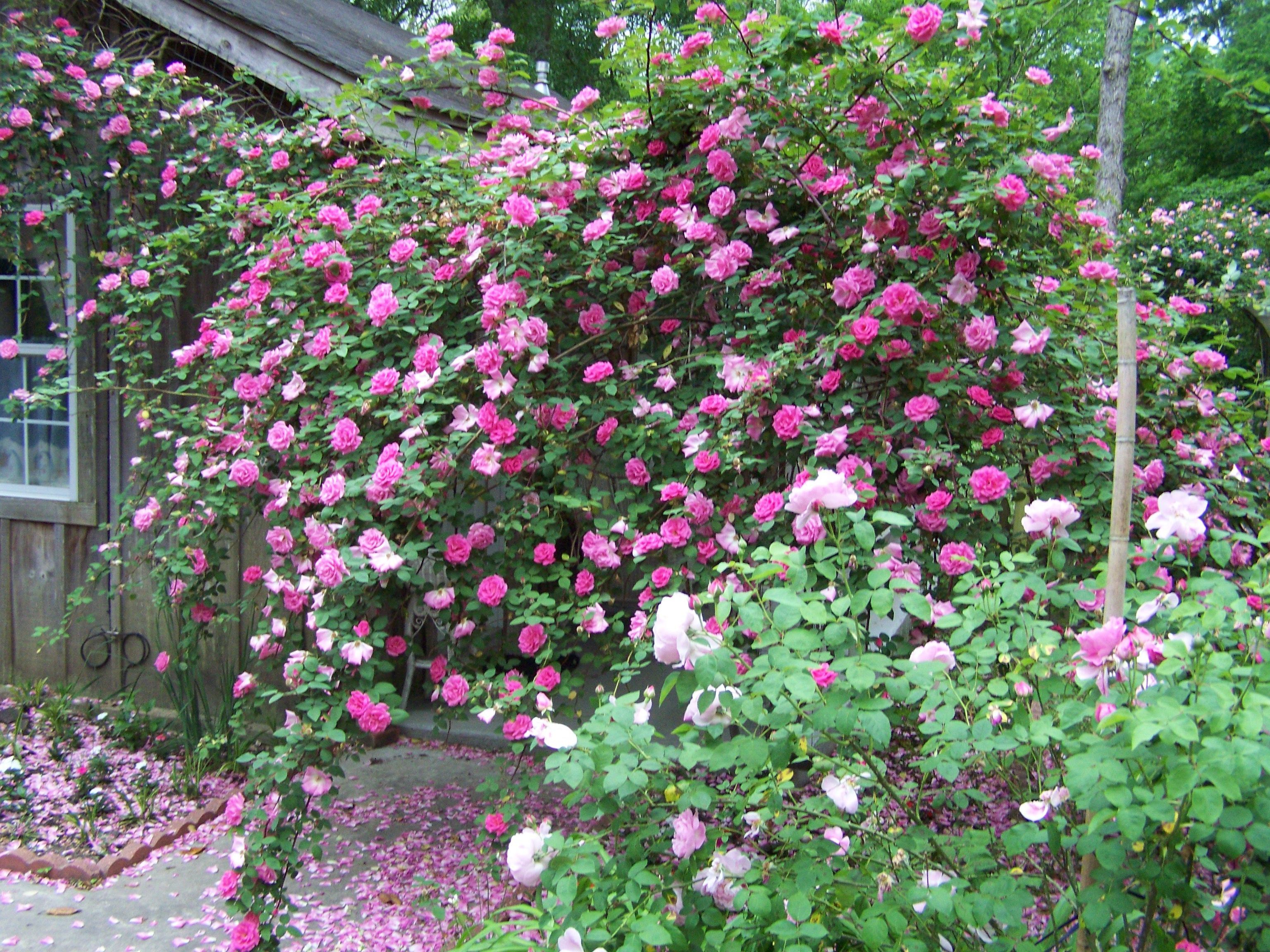 Zephirine Drouhin Climbing Rose zephirine drouhin rose- an old fashion climbing, thornless