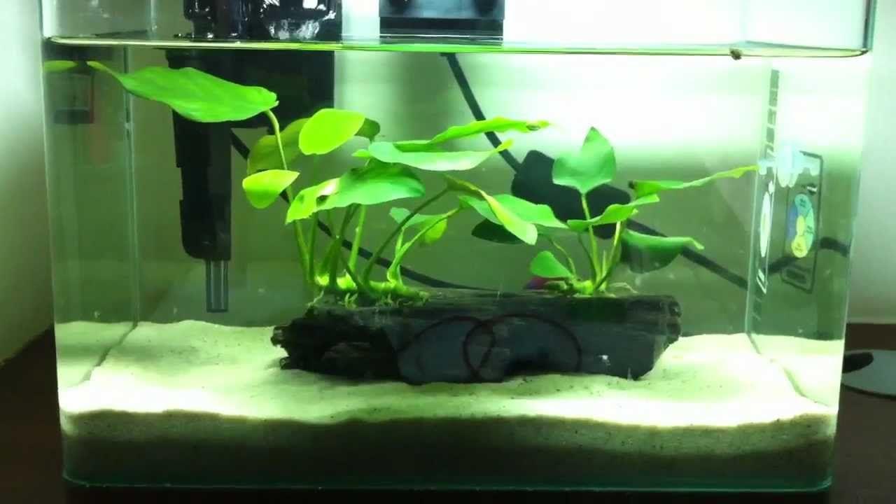 Aprox 3 Gallon Tank Good Betta Tank Red Cherry Shrimp And Snail Tank Mates Anubias Nana Hob Filter Sand Live Plants Betta Fish Tank Fish Tank Betta Fish