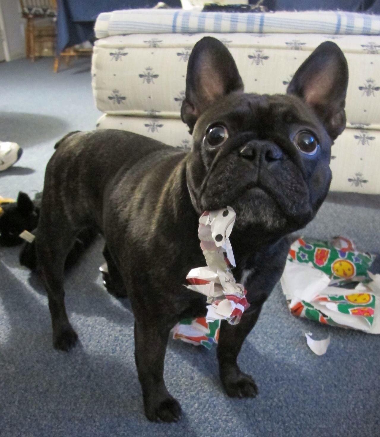 Her first christmasu french bulldog puppy animals pinterest