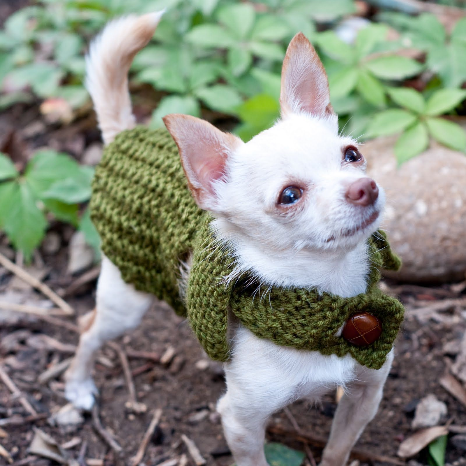 Our 2lb Chihuahua Model Mister Mason Pet Sweaters Chihuahua