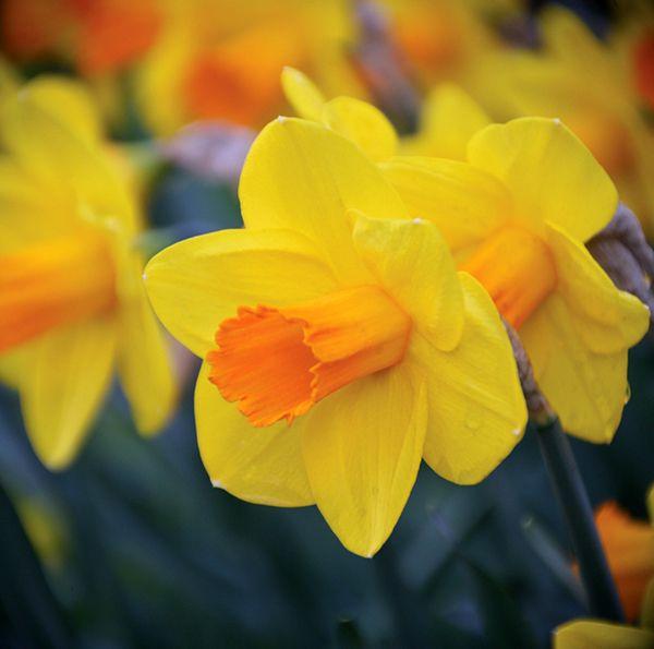 Brent And Becky S Bulbs Classic Garden Flower Garden Daffodils