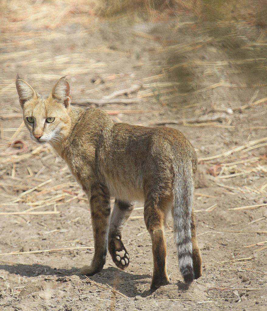 jungle cat Jungle cat, Wild cat species, Wild cats