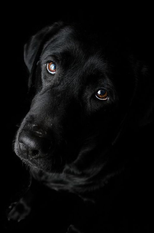 It S A Colorful Life Thelordismylightandmysalvation Big Brown Eyes Black Labrador Retriever Labrador Retriever Labrador Retriever Puppies