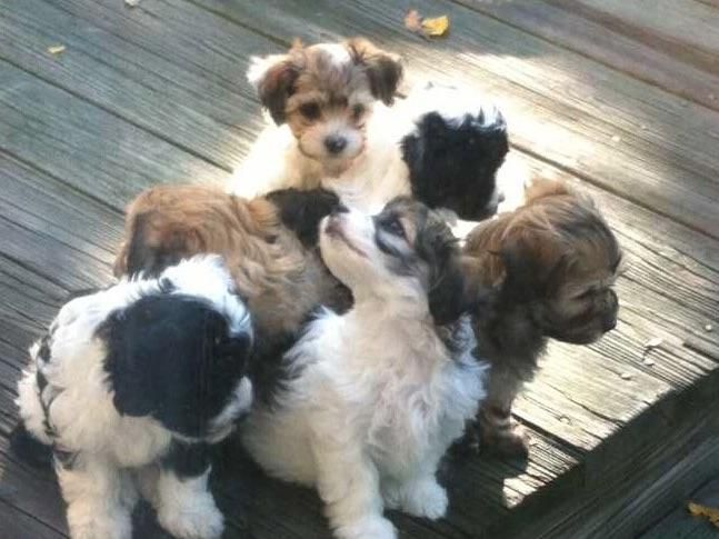Marijke Tansey Havanese Fly Has Havanese Puppies For Sale In Guilford Ct On Akc Puppyfinder Havanese Havanese Puppies For Sale Puppies For Sale