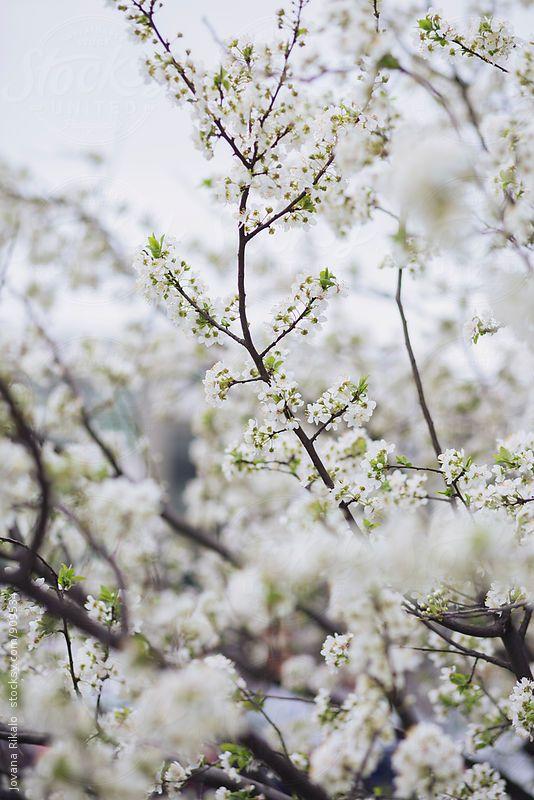 Cherry Blossom Tree By Jovana Rikalo Cherry Blossom Art Cherry Blossom Cherry Blossom Tree