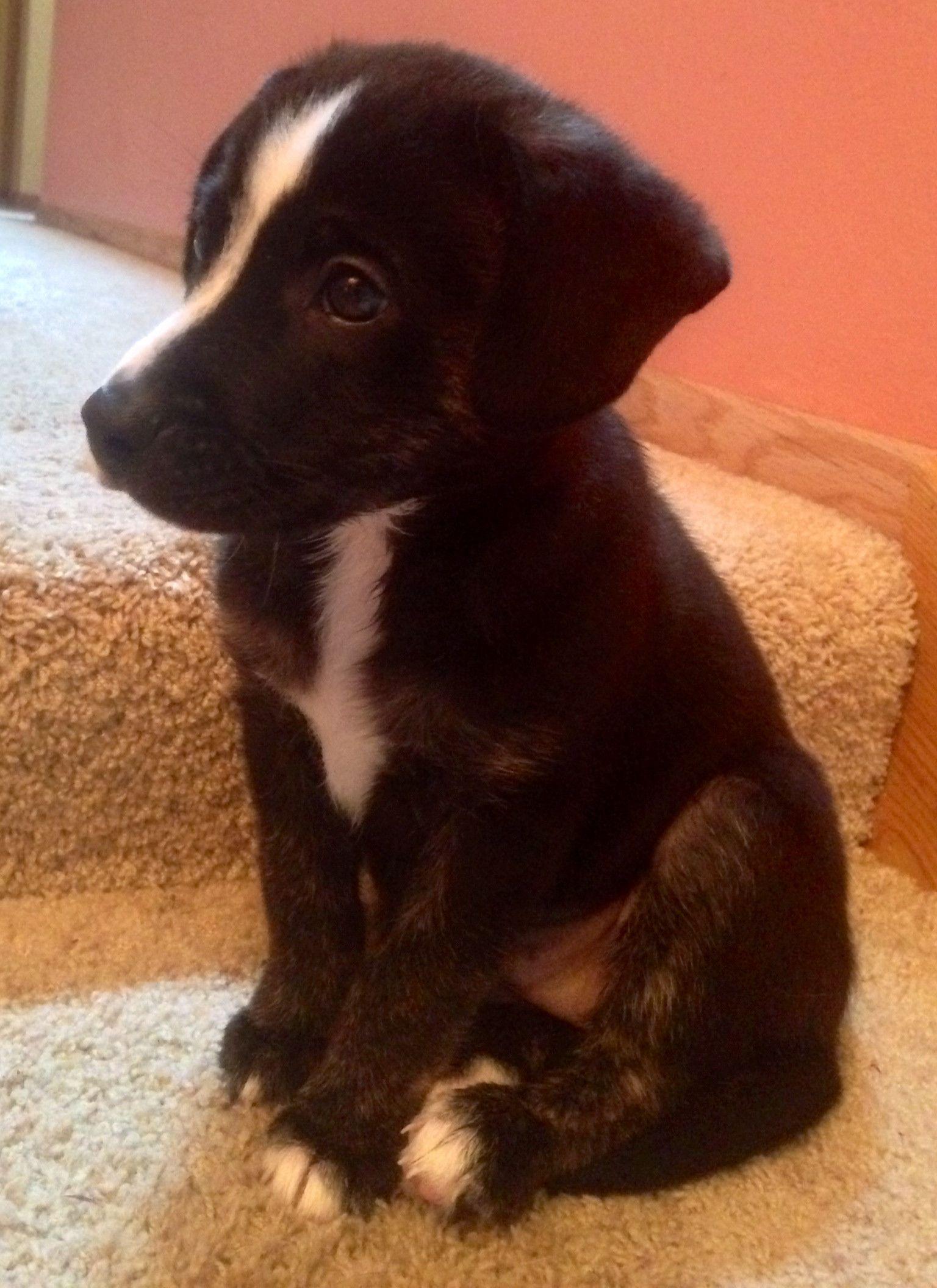 Tux Is A German Shepherd Black Labrador Mix Dog Rules German Shepherd Puppies Dog Activities