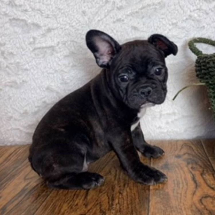 Hey Guys My Name Is Tonka And I Am A 7 8 French Bulldog Puppy I