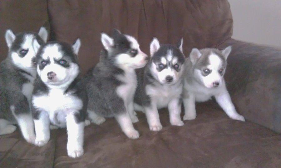 Beutiful Blue Eyes Siberian Huskies Puppies Siberian Husky