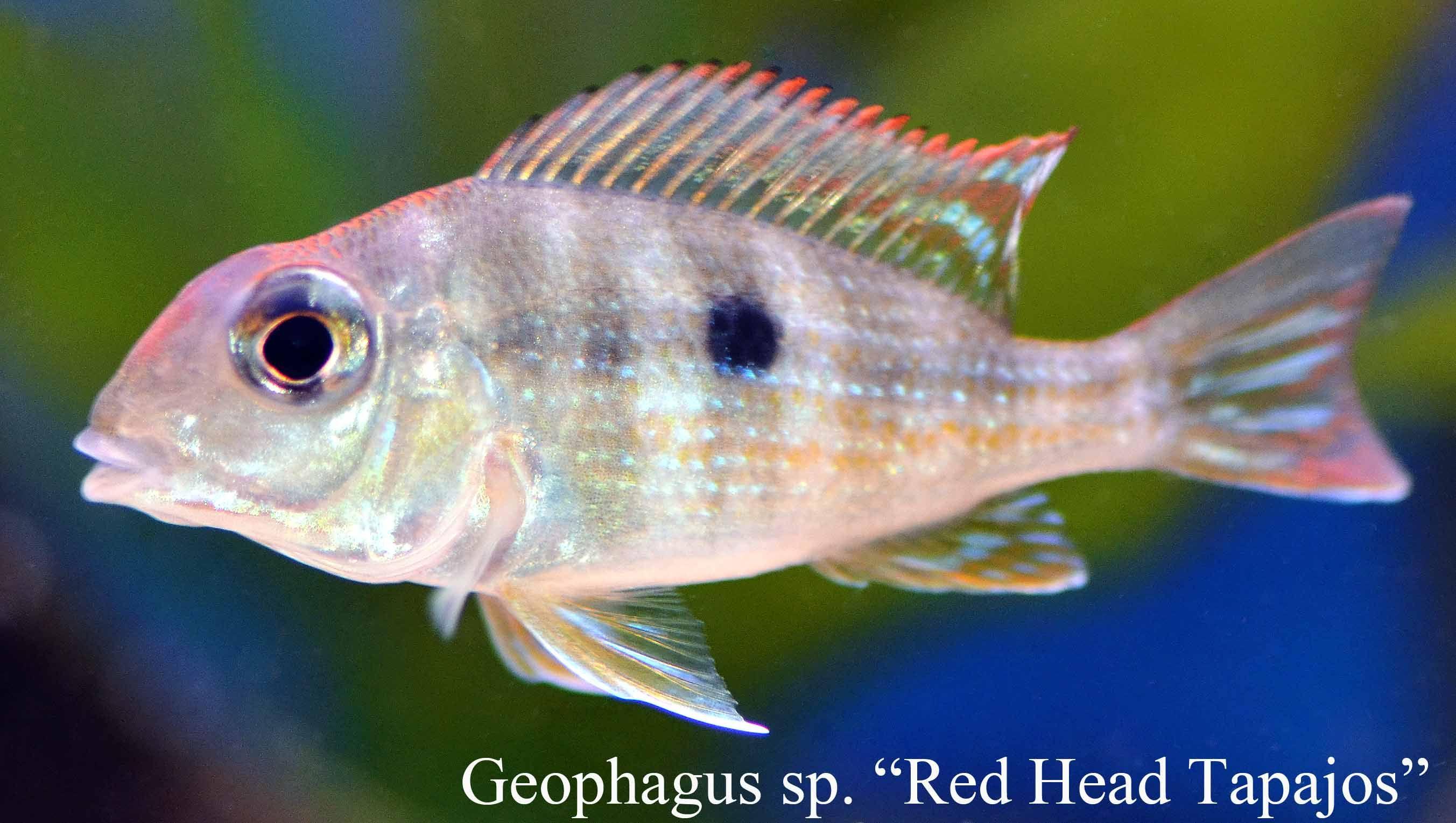 Freshwater juvenile fish -  Red Head Tapajos Juvenile