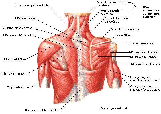 Anatomia do ombro, músculos | trabalho anato | Pinterest | Músculos ...